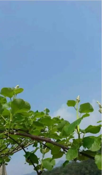 一颗猕猴桃的180天!萌芽、夏花到秋实
