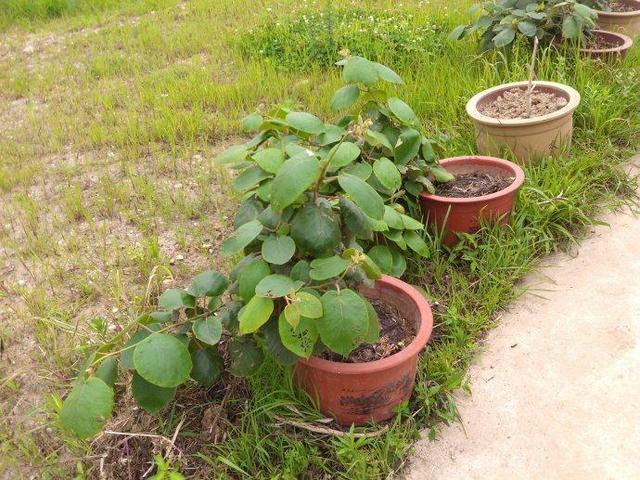盆栽猕猴桃好吃又好看,简单几步可以试试