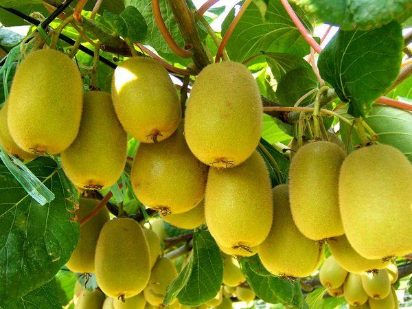 孕妇吃猕猴桃好处多 吃猕猴桃要避免这些禁忌