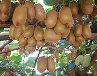 全省猕猴桃产业竞争力科技提升行动推进会在岳召开