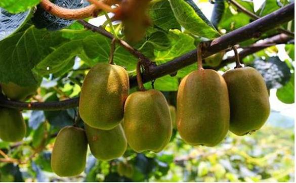 猕猴桃与奇异果究竟是什么关系
