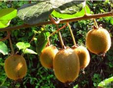 中华猕猴桃的前世今生