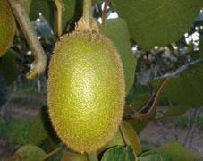 翠香猕猴桃,翠香猕猴桃价