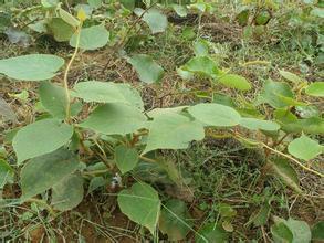 猕猴桃的嫩枝快繁种植技术