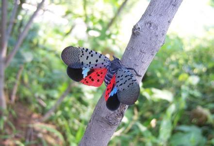 猕猴桃斑衣蜡蝉的防治