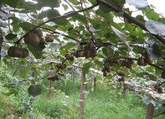 徐香猕猴桃在河南西峡啥时间成熟?