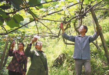 翠香猕猴桃苗木的整形