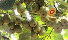 猕猴桃果实抗坏血酸形成的生理机理研究
