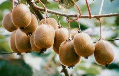 不同品种猕猴桃的光合特性比较研究