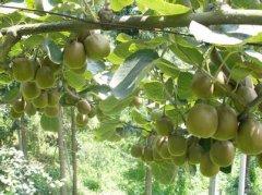 红心果猕猴桃引种表现及对环境条件的要求