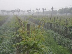 猕猴桃实生苗繁育嫁接繁殖