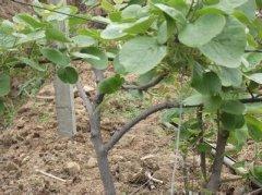 猕猴桃种苗缺硫有何症状及如何防治