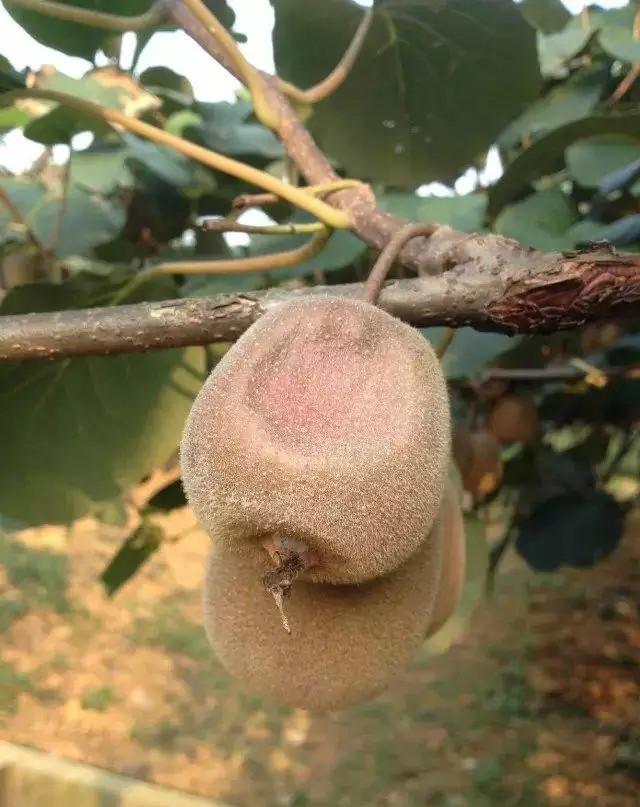 夏季高温猕猴桃热害猕猴桃种植