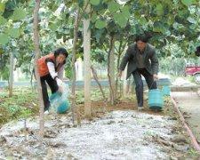 常见的猕猴桃施肥存在九